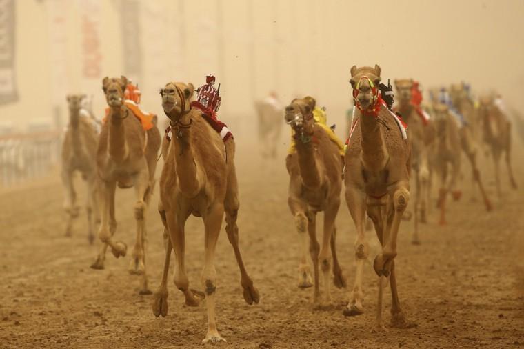 camels ridden